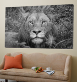Into the eyes of the lion Prints by Nick Jackson