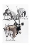 Gemsbok Giclee Print by Barbara Keith