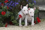 Bull Terrier 02 Fotografie-Druck von Bob Langrish