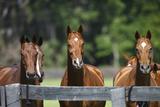 Polo Ponies 004 Lámina fotográfica por Bob Langrish