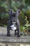 French Bulldog 13 Fotografie-Druck von Bob Langrish