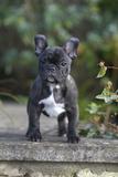 French Bulldog 13 Lámina fotográfica por Bob Langrish