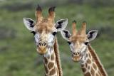 African Giraffes 074 Fotografie-Druck von Bob Langrish