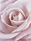 Pink Rose Photographic Print by Cora Niele