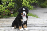 Bernese Mountain Dog 19 Stampa fotografica di Bob Langrish