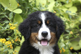 Bernese Mountain Dog 08 Stampa fotografica di Bob Langrish