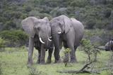 African Elephants 171 Fotografie-Druck von Bob Langrish