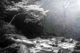 Trees in the Mist 2 BW Fotografisk trykk av Bob Rouse