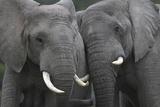 African Elephants 111 Fotografie-Druck von Bob Langrish