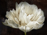 Double White Tulip Photographic Print by Cora Niele