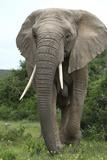 African Elephants 140 Fotografie-Druck von Bob Langrish