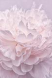 Pink Peony Petals I Fotografisk tryk af Cora Niele
