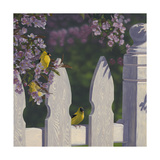 Goldfinch Trio Giclee Print by Jeffrey Hoff