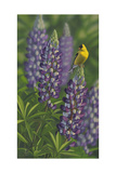 Goldfinch Lupine Giclee Print by Jeffrey Hoff