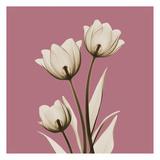 Pink Luster Tulips Poster by Albert Koetsier