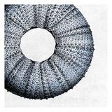 Urchin Shell 1 Poster von Sheldon Lewis