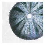 Urchin Shell 3 Kunstdruck von Sheldon Lewis