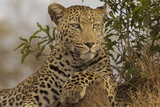 A Male Leopard Sits on Top of a Termite Mound Watching a Group of Vultures 写真プリント : スティーブ・ウィンター