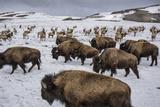 Bison and Elk Share Winter Ranges in the National Elk Refuge Near Jackson, Wyoming 写真プリント : Charlie Hamilton James