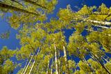 Trees Grow in the Telluride Area of Colorado Fotografisk trykk av Karen Kasmauski