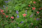 Lupine, Lupinus, Columbine, Aquilegia, and Other Wild Flowers Grow in Alaska Photographic Print by Erika Skogg