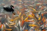 Black Swan, Cygnus Atratus, and Koi, Cyprinus Carpio, Swimming in the Water Fotografisk tryk af Tyrone Turner