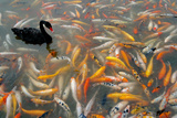 Black Swan, Cygnus Atratus, and Koi, Cyprinus Carpio, Swimming in the Water Lámina fotográfica por Tyrone Turner
