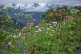 Field of Lupine, Lupinus, Columbine, Aquilegia, and Other Wild Flowers in Alaska Photographic Print by Erika Skogg