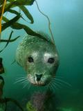 Portrait of a Harbor Seal Stampa fotografica di Jeff Wildermuth