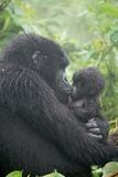 Portrait of Mountain Gorilla, Gorilla Beringei Beringei, Embracing its Young Fotografisk tryk af Tom Murphy