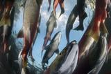 Sockeye Salmon Migrate to their Natal River or Stream in the Fraser River Watershed Fotoprint van Paul Colangelo