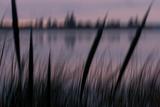Katetogama Lake with Cattail Plants, Typna Latifolia, in the Early Morning Valokuvavedos tekijänä Philip Schermeister