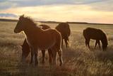 Icelandic Horses Grazing in Pasture 写真プリント : ラウル・タウゾン