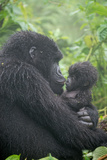 Mountain Gorilla, Gorilla Beringei Beringei, Embracing its Young Fotografie-Druck von Tom Murphy