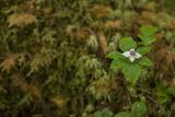A Dwarf Dogwood, Cornus Canadensis, Flower Stands Alone in Southeast Alaska Photographic Print by Erika Skogg