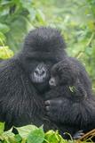Portrait of Mountain Gorilla, Gorilla Beringei Beringei, with its Young Fotografisk trykk av Tom Murphy