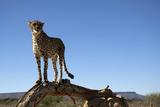 The Cheetah Conservation Fund, Namibia Fotografisk tryk af Anne Keiser