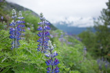 Lupine, Lupinus, Flowers Grow with a Mountain Vistas Beyond Photographic Print by Erika Skogg