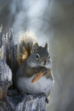 A Red Squirrel Holds a Pinecone Fotografisk tryk af Michael Quinton