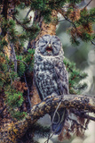 Great Grey Owl, Strix Nebulosa, Perching on the Branch of a Tree Yawning Photographic Print by Tom Murphy