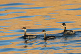 Three Black Neck Grebes Swimming at Sunset at Ensenada Grande Reproduction photographique par Michael Melford