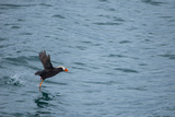 A Tufted Puffin, Fratercula Cirrhata, Takes Off in Flight at Glacier Bay National Park Photographic Print by Erika Skogg