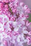 Spring Lilacs III Prints by Romona Murdock