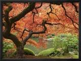 Japanese Maple, Portland Japanese Garden, Oregon, USA Lámina fotográfica enmarcada por William Sutton