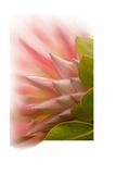 Protea Blossom Prints by Romona Murdock