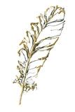 Gilded Turkey Feather I Láminas por Chris Paschke