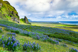 Vik 3pm, Summer Wildflowers on the Coast of Southern Iceland Photographic Print by Vincent James