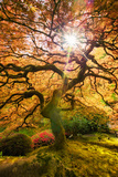 Autumn Maple and Sun, Japanese Garden Portland Oregon Photographic Print by Vincent James