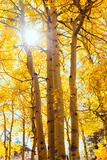 Autumn Sun and Trees, Bishop Creek Canyon California Photographic Print by Vincent James