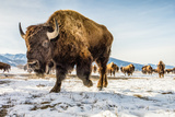 Bison in the 24,700-Acre National Elk Refuge Near Jackson, Wyoming 写真プリント : Charlie Hamilton James